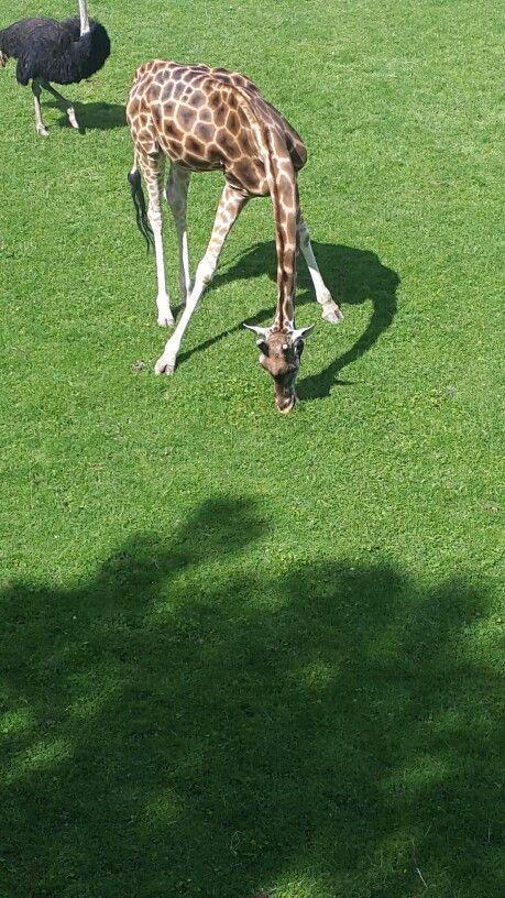 Giraffe  Fun at the zoo