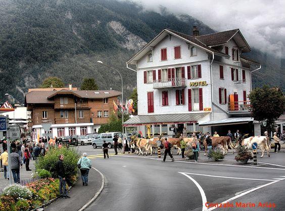 Desfile con vacas en un pueblo de Suiza.