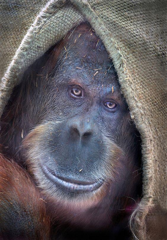 Shy smile An Orangutan enjoys the company of visitors