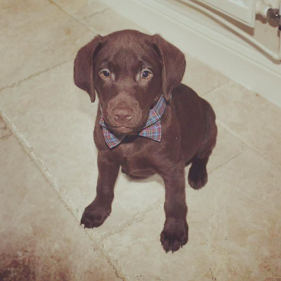 All dressed up and nowhere to go!  #dog #instadog #labpuppy #chocolatelab #chocolatelabpuppy #puppy #instapuppy #dogbowtie #doggy #woofwoof #woof #dogsofinstagram #dogstagram #doglover #talesofalab #labrador #labradorable #doggie #dogfollow #chocolate #chocolatelaboftheday by crombiethelab