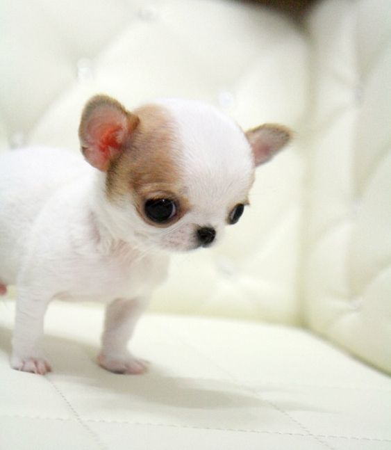 teacup chihuahua Micro Teacup Chihuahua Puppies for Sale