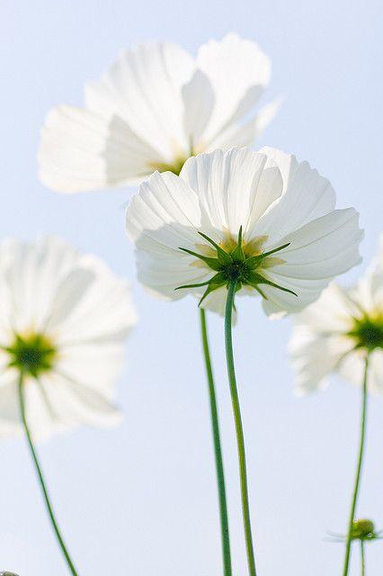 lindasinklings:    via (throne-of-flowers)