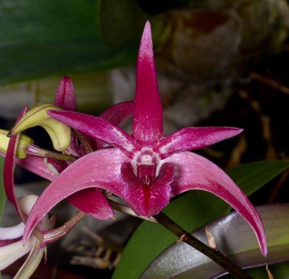 Sunset Valley Orchids - Den. Gillieston Jazz x Den. Tosca x Rutherford Starburst) 'Purple Haze'