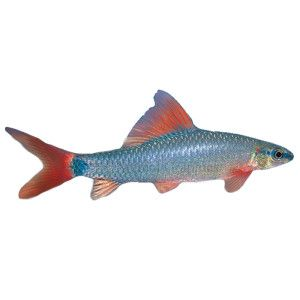 Rainbow shark petsmart only one of this kind 72 for Petsmart fish guarantee