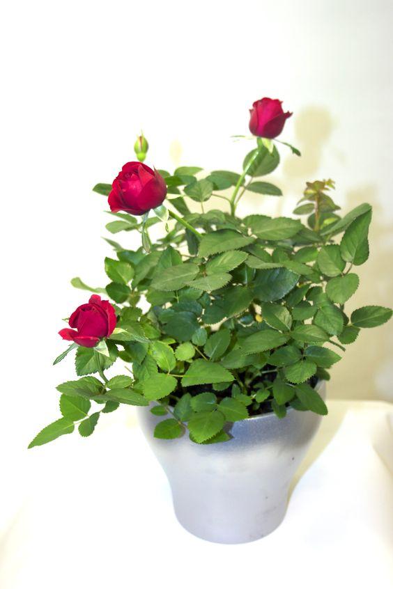 Rosa Patioht