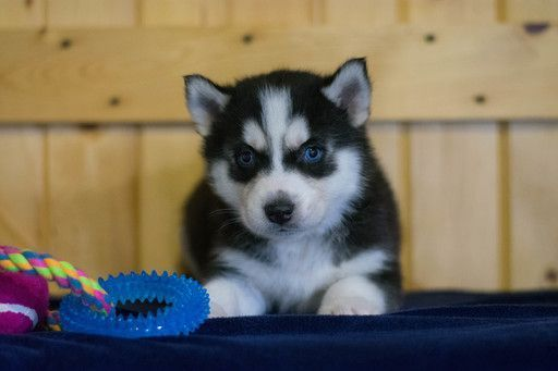 Siberian Husky Puppy For Sale In Cuyahoga Falls Oh Adn 71096 On Puppyfinder Com Gender Male Age 6 Weeks Husky Puppies For Sale Husky Puppy Siberian Husky