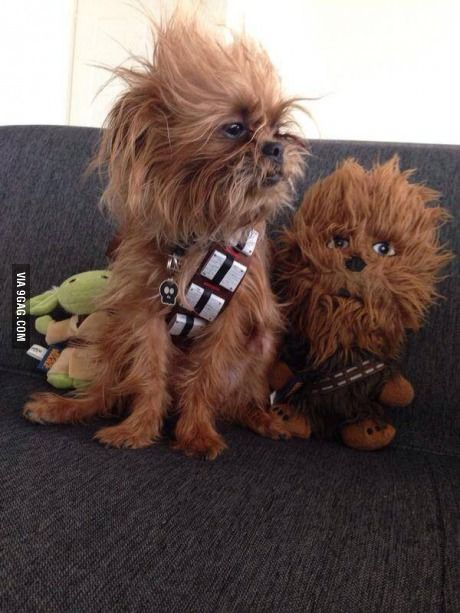 I have 2 dogs of this breed and they are sometimes called ewoks or chewbaca dogs...you can see why!