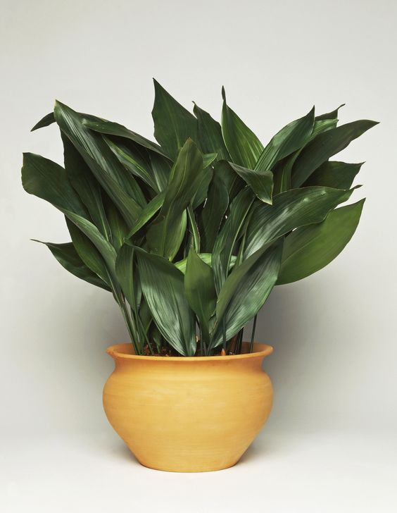 Castiron Plant (Aspidistra elatior) --- great lower maintenance indoor house plant --  ok in lower light -- water every 10 days