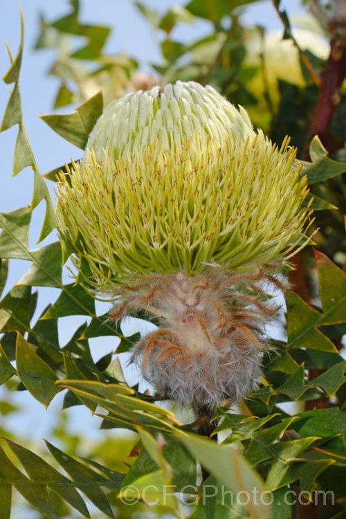 Banksia Baxteri In 2020 Seed Capsule Evergreen Shrubs Small Trees