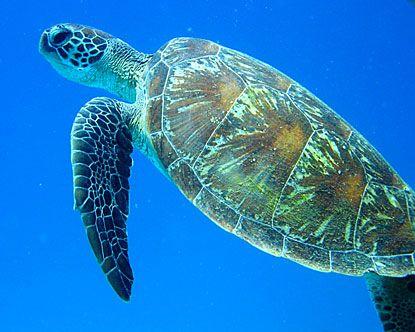 Australian sea turtle
