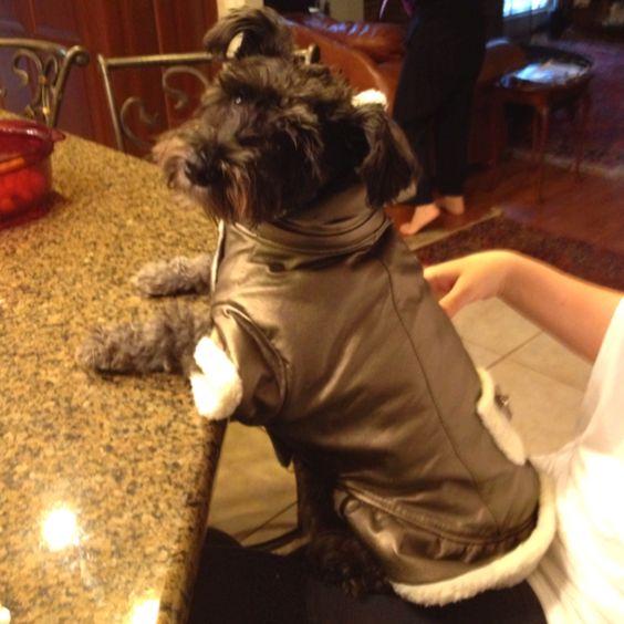 Sitting dog (schnoodle), Penny Lane