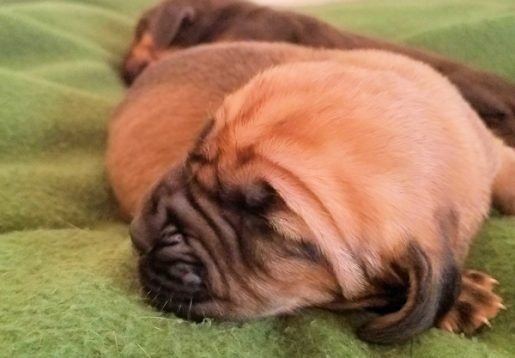 Miss Marvel Bloodhound Puppies For Sale Dog Breeders Near Me