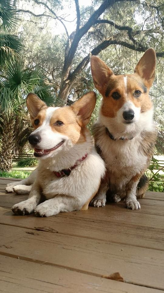 Our future dogs....Asta & Toby the Tank