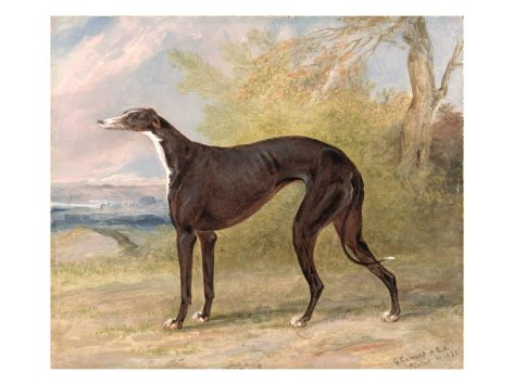 One of George Lane Fox's Winning Greyhounds: the Black and White Greyhound Bitch, Juno