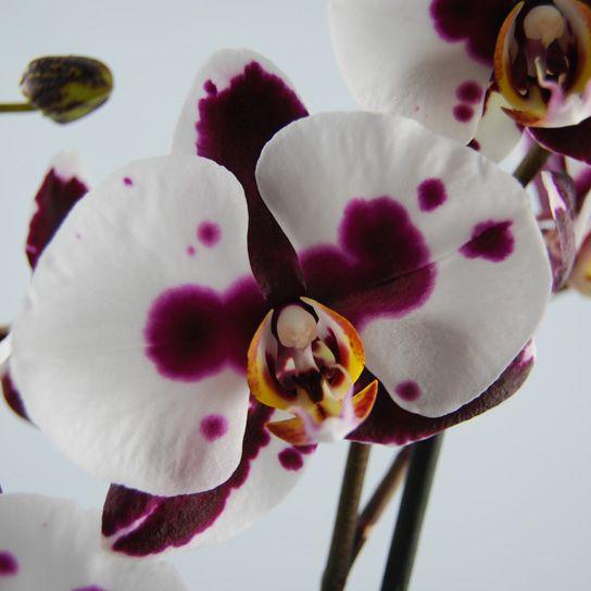 orchidee phalaenopsis polka dots vlinderorchidee. Black Bedroom Furniture Sets. Home Design Ideas