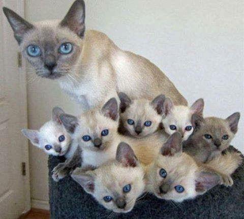 Bichanos Fofos Pedigree Cats Cute Cats Pretty Cats