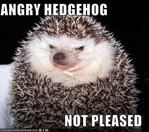 angry hedgehog not pleased cute pinterest hedgehogs