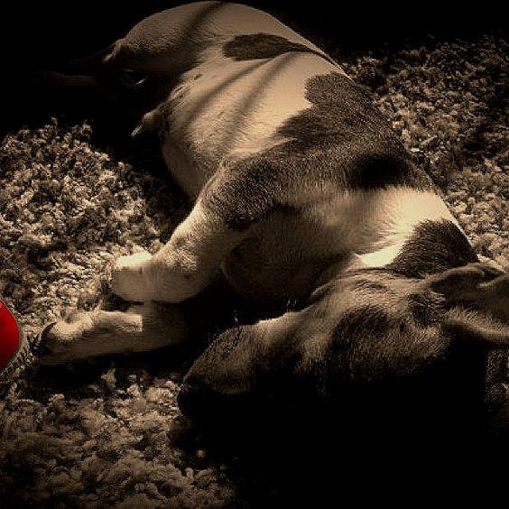 Facundo en siesta...Jack Rusell de 3 meses