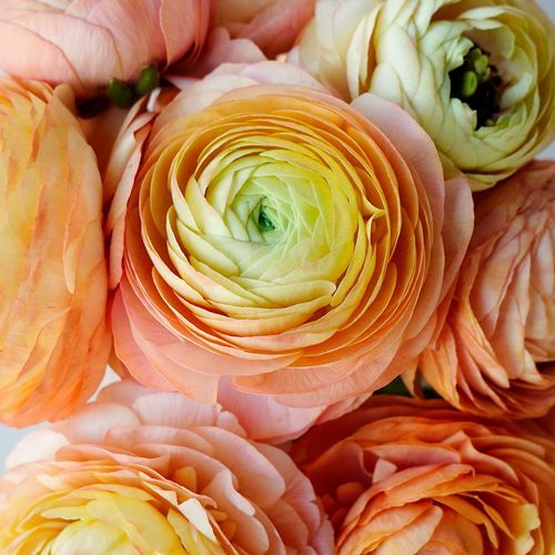 These Gumpaste Ranunculus Flower Tutorial Are The Best Online Sessions Available To Teach You How To Ma In 2020 Ranunculus Flowers Ranunculus Garden Flowers Perennials