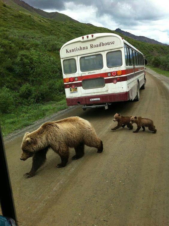 Bear crossing in Denali