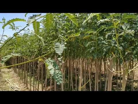 Avisha Agase Sesbaniagrandiflora Agathi Youtube Outdoor Farmland Vineyard