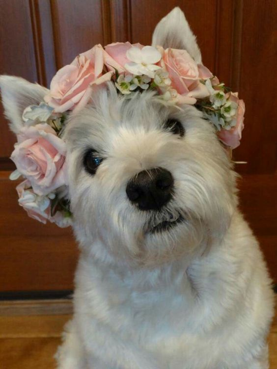 So sweet! A Westie with a flower crown.