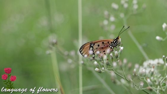 the most beautiful butterflies for you /Tawny Coster