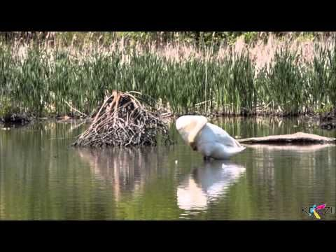 Video of a Swan