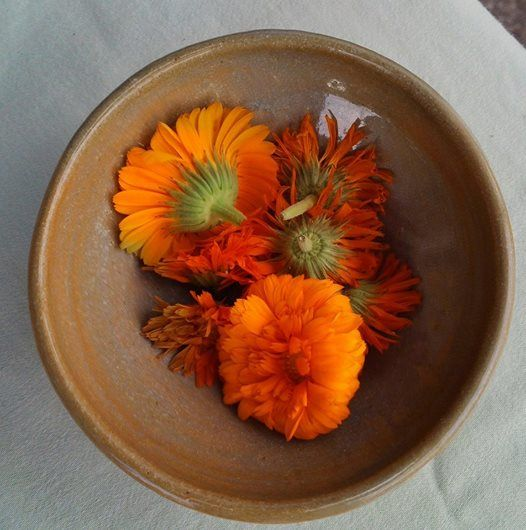 Calendula flowers harvested near my home in central Vermont