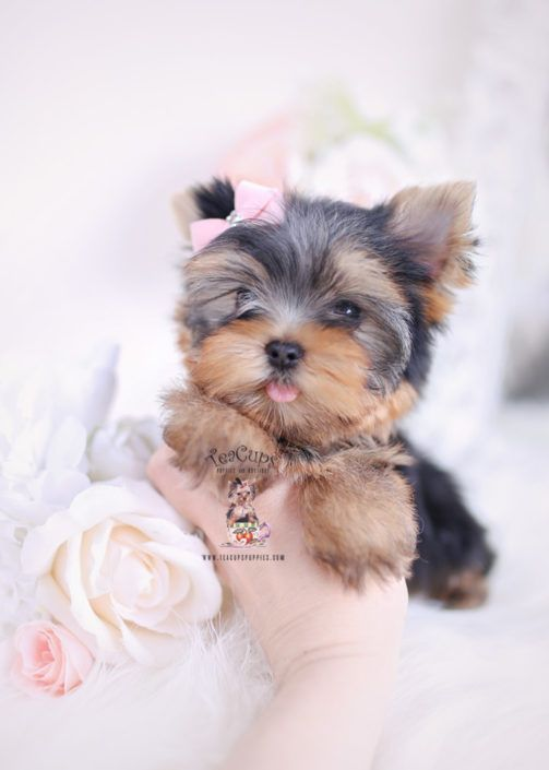 Yorkie Puppy For Sale Teacup Puppies 212 Shitzu Puppies Teacup