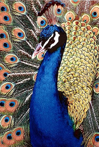'Peacock-Pride' - Flickr - Photo Sharing!