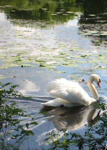 Bonny Turayev: Beautiful swan at Gallup Park in Ann Arbor, Michigan.: