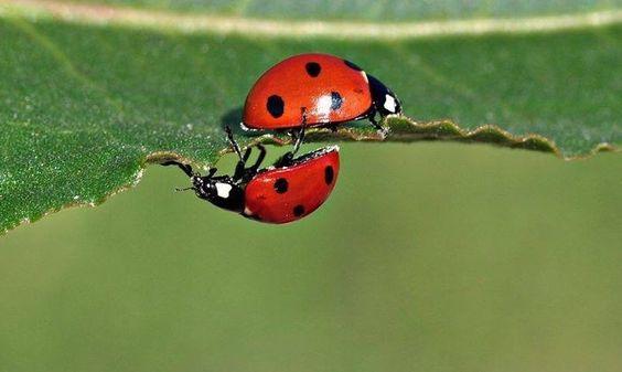 #manchmal läuft man direkt aneinander vorbei.... #marienkäfer #ladybird