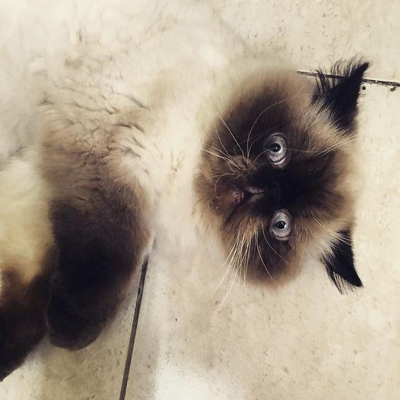 バッジ On Instagram Good Morning Everypawdy Almost End Of The Week In My Side Of The World Mydubai Uae Weeklyfl Himalayan Cat Cat Day Flat Faced Cat