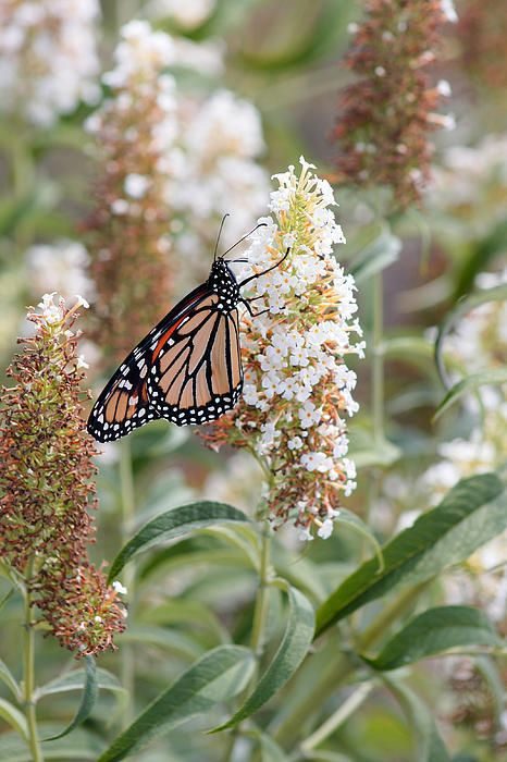 Monarch By Debbie Fieno