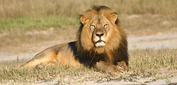 Gorgeous lion named Cecil lived to be 13 years old with a girl and they have a few cubs. He was murdered by a dirty dentist