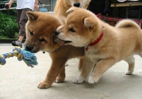 Oh Shiba Inu- I miss My first puppy Meiko