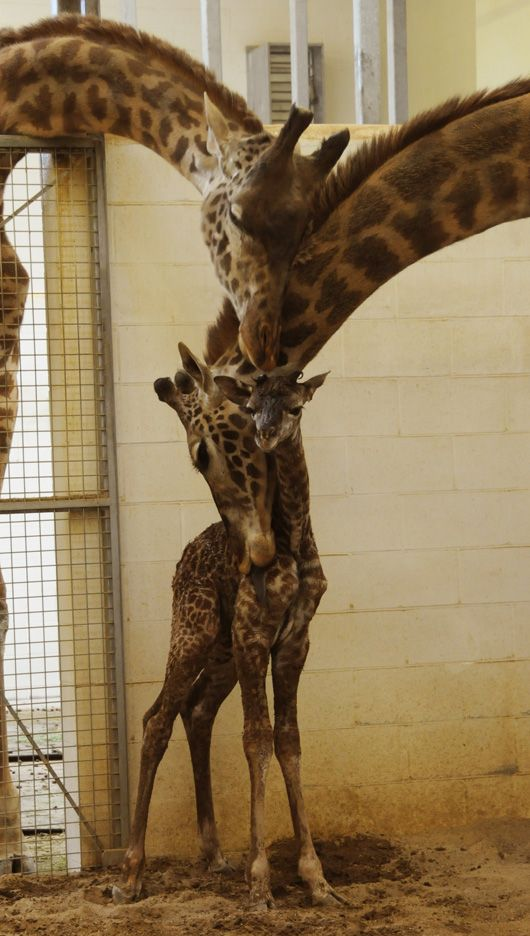 Giraffes - family love - I normally hate zoo pictures, but this was too good to resist.