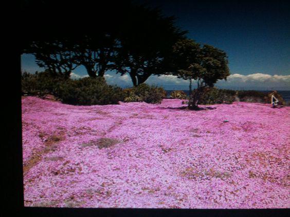 Pacific Grove wildflowers