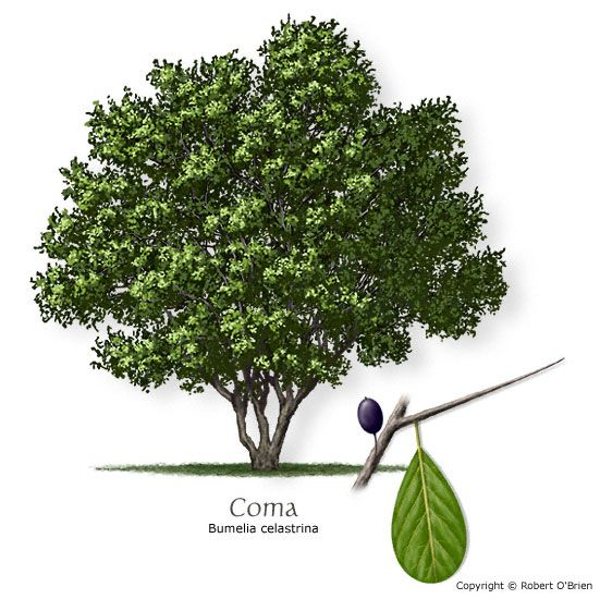 Common name la coma saffron plum latin name bumelia for Small sized evergreen trees
