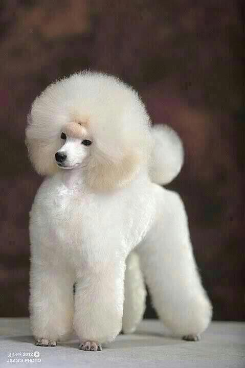 Discover The Eager Poodle Dogs Exercise Needs Poodlejantan