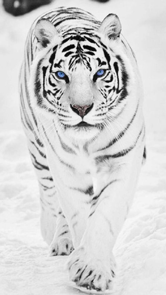 If I could be any animal in the world i'd be a WHITE TIGER!! I love these beautiful majestic creatures!! #fav