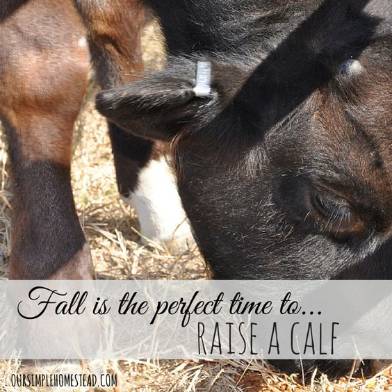 Fall is the Perfect Time to Raise a Calf - Knowing our growing season and calculating the cost of hay and grain we determined late fall would be the perfect time to raise a calf.  Since he is still little the feed and hay cost will be a minimum over this first winter. #homesteading #smallfarming