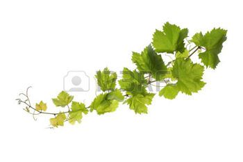 grape leaf: Branch of vine leaves isolated on white background