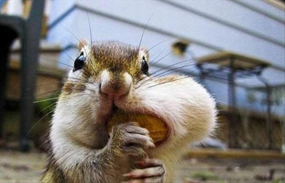 Chipmunk Trying To Squeeze Extra Nut In