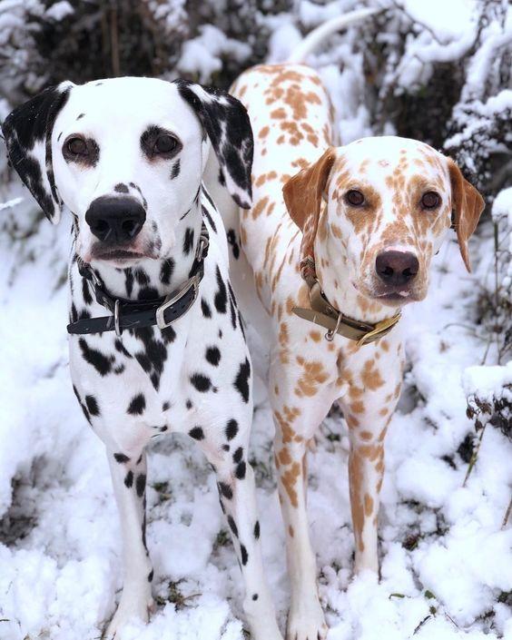 Giống chó Dalmatian thuần chủng
