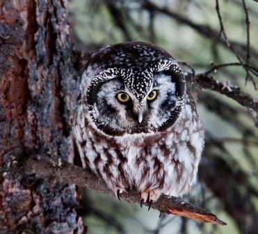 © Denali National Park and Preserve / CC BY 2.0 -Chouette de Tengmalm