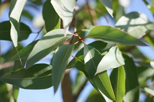 Lemon eucalyptus essential oil is obtained from the fragrant leaves of the Eucalyptus citriodora tree - learn about the properties, history and many therapeutic uses in aromatherapy . . .: