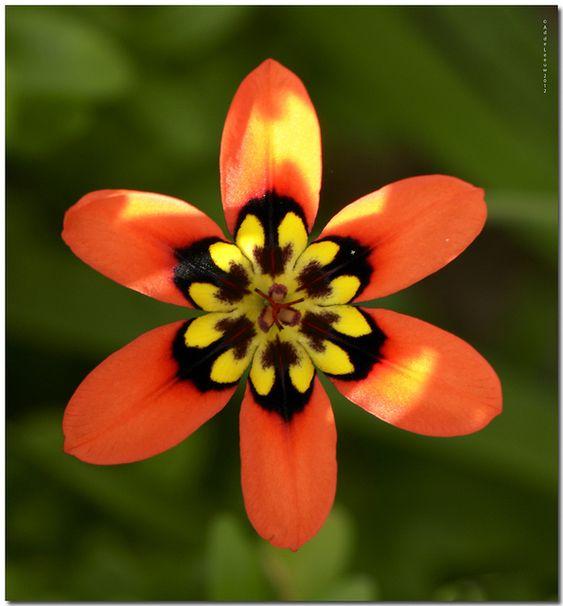 Harlequin flower: