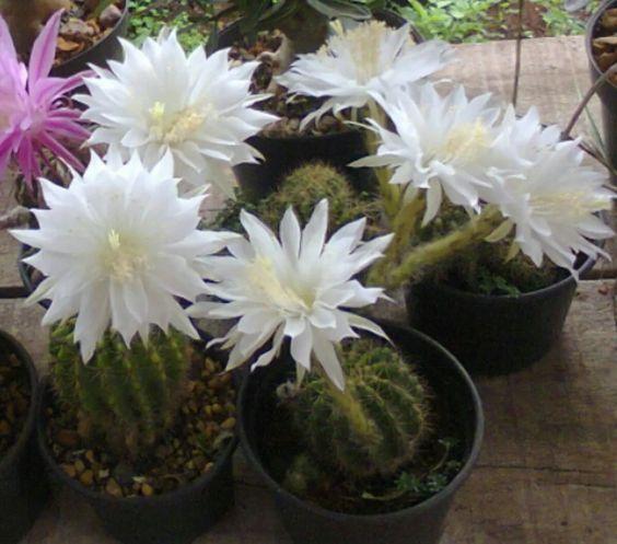 kit de mudas de cactus com 15 tipos diferentes.